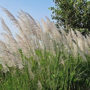 Saccharum Munja Grass, Munja – 0.5 Kg Seeds – Nurture Plant